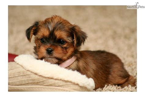 yorkie puppies for sale in sioux city ia free shih tzu in iowa breeds picture