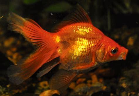 vasca pesce rosso pesce rosso pesci acquario caratteristiche pesce rosso