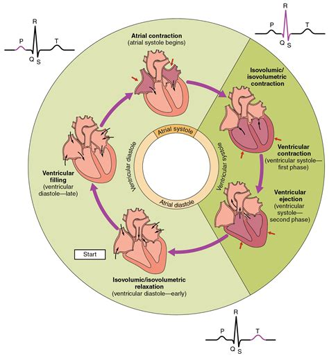 this diagram of the human cycle shows that 19 3 cardiac cycle anatomy and physiology