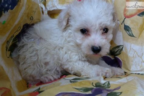 Do Morkie Puppies Shed by Puff Morkie Yorktese Puppy For Sale Near