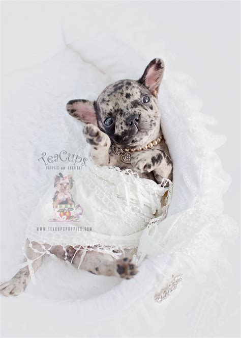 merle frenchie puppies for sale merle frenchie for sale at teacups puppies and boutique teacups puppies boutique