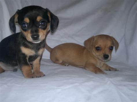 chihuahua weiner chihuahua x miniature dachshund chihuahua for sale