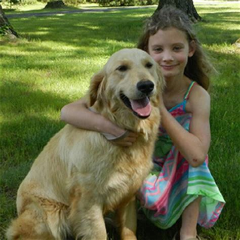 golden retriever hair length golden retrievers breeders stud service atlanta golden retrievers atlanta