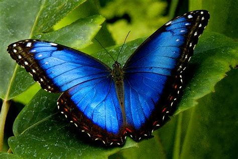 Butterfly Biru mental fundamental fakta sains quot dari manakah asalnya warna indah rama rama morpho biru quot