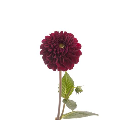 burgundy dahlia flower dahlias types of flowers