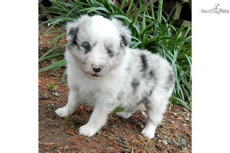 blue merle sheltie puppies for sale shetland sheepdog sheltie puppy for sale near rock arkansas eb54fda8 0581