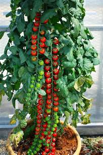 Best Tomatoes For Container Gardening - rapunzel tomato outside ambitions pinterest tomatoes rapunzel and plants
