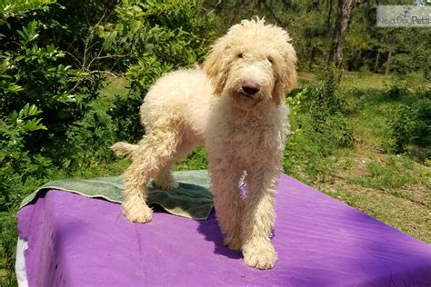 goldendoodle puppies bay area goldendoodle puppy for sale near ta bay area florida 2cfce350 6461