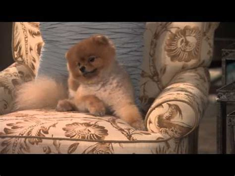cleveland puppies george clooney in cleveland breed breeds picture