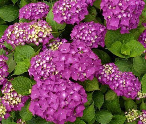 fiori ortensia ortensia famiglia hydrangeaceae come curare coltivare