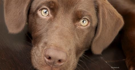 chocolate dogs chocolate toxicity in cats and dogs