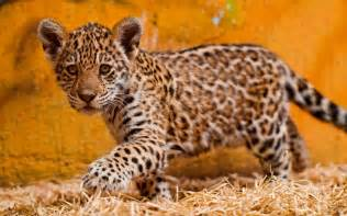 Baby Jaguar Jaguar Baby Bilder Jaguar Babybild Und Foto Tier Bilder