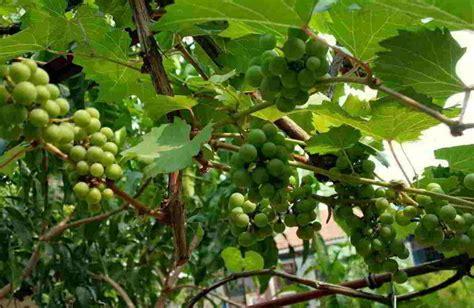 gambar tanaman anggur mitalom