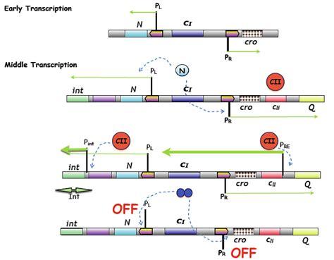 q protein bacteriophage lambda bacteriophage lambda at portland state studyblue
