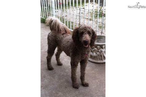 chocolate labradoodle puppies for sale near me mini multigen labradoodle chocolate boy labradoodle puppy for sale near jacksonville