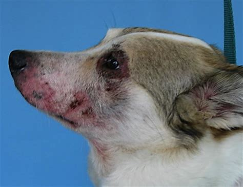 dermatitis in dogs atopic dermatitis cure in pet dogs