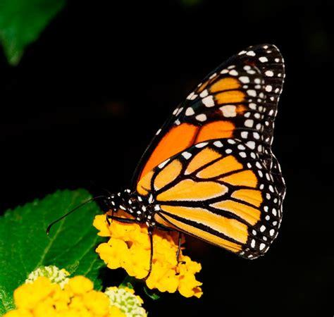imagenes de mariposas monarcas galer 237 a de im 225 genes mariposas monarca