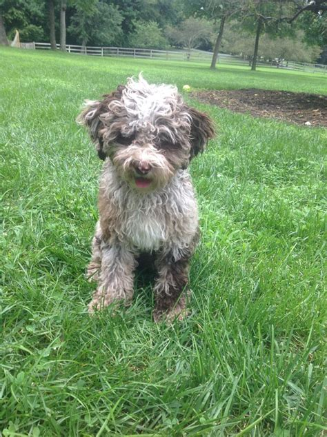 mini labradoodles ohio mini labradoodle puppies for sale in ohio breeds picture