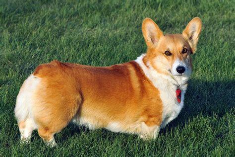corky hund corgi
