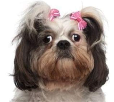 caring for shih tzu allshihtzu shih tzu eye care