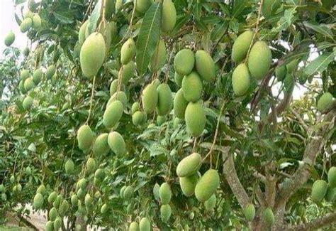 Pupuk Bunga Lebat 12 tahap dan panduan budidaya menanam mangga berbuah lebat