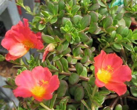 gardensonline portulaca grandiflora