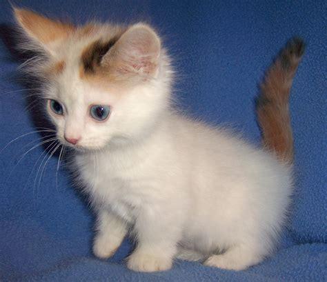 Munchkin Cat : History, Characteristics and Temperament