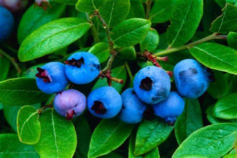 Bibit Blueberry Di Indonesia blueberry