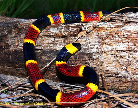 snake pattern red black yellow lack of fresh antivenin a concern after coral snake bite