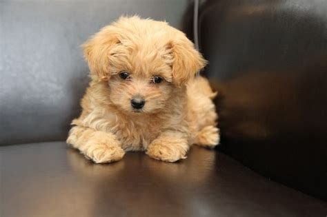 pomeranian poodle mix puppies for sale pictures of pomapoo 4 breeds picture