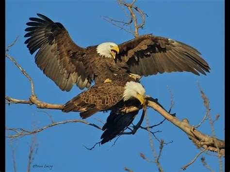 bald eagles mating two bald eagles successful mating bald eagle discover