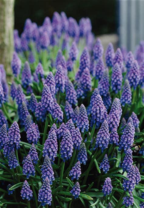 grape hyacinth muscari armeniacum  netherland bulb