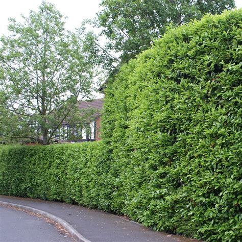 hedge plants selection and a beautiful hedge shape fresh design pedia