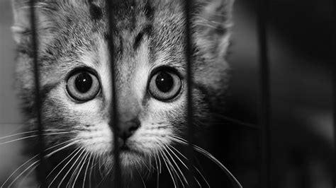 gatto in gabbia donna cinese uccide e cucina un gatto in diretta web