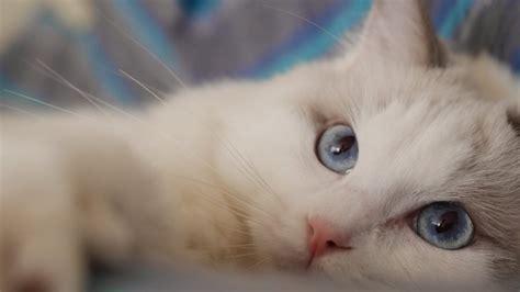 imagenes para fondo de pantalla gatos gato blanco ojos azules mirada fondos de pantalla hd