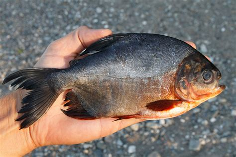 visitors warned against dipping as munching fish invade european beaches pacu