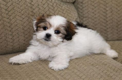 shih tzu cross maltese puppies 7 surprising shih tzu puppies mix that best gift for your ones