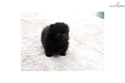 pomeranian puppies jackson ms pomeranian puppies for sale teacup puppies for sale pom breeder breeds picture