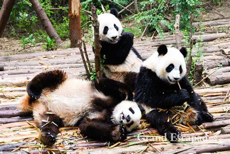 panda china chengdu panda research base grand escapades