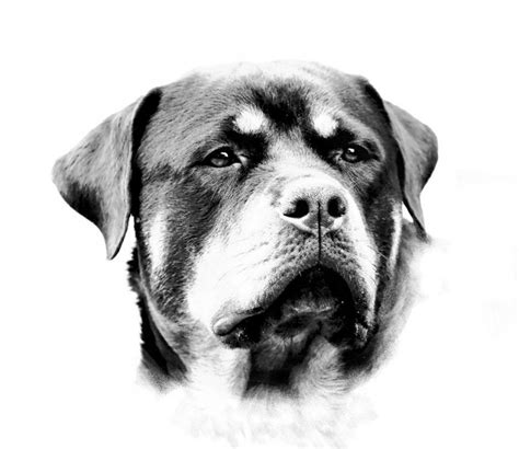 rottweiler black and realistic black and white rottweiler muzzle design tattooimages biz