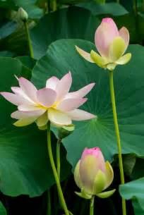 What Colour Is A Lotus Flower Best 25 Lotus Flowers Ideas On Lotus Flower