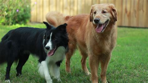 border collie and golden retriever draco 10 month border collie and ben the golden retriever