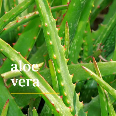 how much light does an aloe plant need ehow 5 plants proven to aid better sleep sunny side up