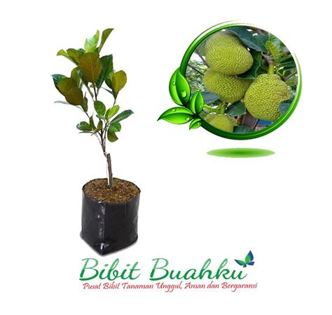 Bibit Nangka Mini bibit tanaman nangka mini 50cm 120cm up bibit buahku
