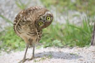 Barn Regal Burrowing Owl The World According To Alice