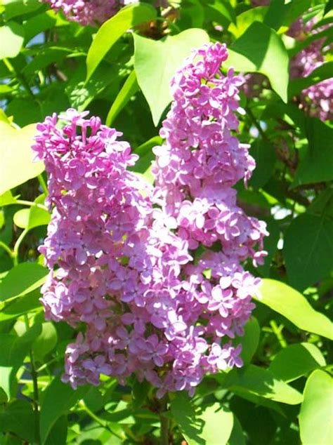 lilacs flowers lilac flower pictures images lilac jpegs clipart gardener s network