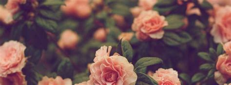 rose themes tumblr 7 best images of pink roses tumblr tumblr pink roses