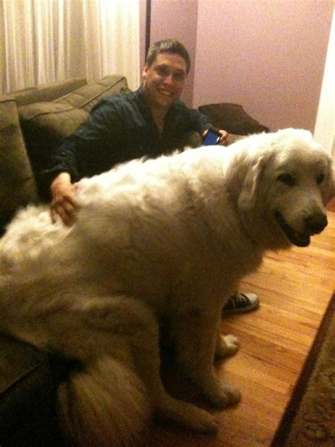 huge dog on couch bear dogs 10 dogs that look like bears healthy paws