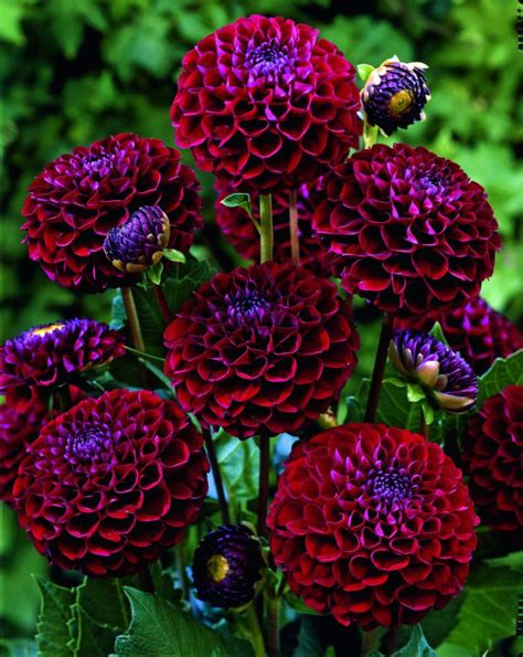 10 Tips On Growing Great Plants This Summer by Top 10 Tips On How To Plant Grow And Care For Dahlia
