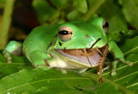 Feeding Frog salute to a warrior santa fe trading co